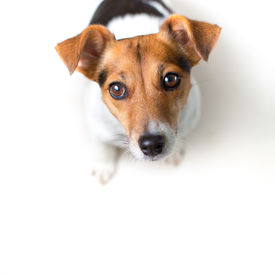foto of jack-in-the-box  - Jack Russell Terrier on white - JPG
