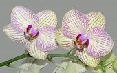 foto of moth  - Moth Orchid - Phalaenopsis