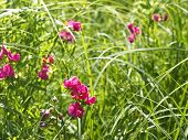 image of pea  - Flowering pink tuberous pea among meadow grasses. This plant also known as the tuberous vetchling earthnut pea or aardaker. Latin name: Lathyrus tuberosus