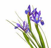 stock photo of purple iris  - dark purple iris open flowers isolated on white background - JPG