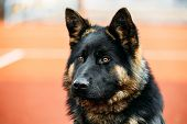 stock photo of shepherds  - Close Up Young Puppy Black German Shepherd Dog - JPG