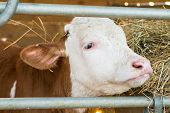stock photo of calves  - A brown and white calf in a pen - JPG
