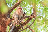 pic of macaque  - Monkey  - JPG