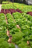 stock photo of hydroponics  - Hydroponic lettuce in greenhouse - JPG