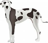 stock photo of harlequin  - Large animal breed domestic harlequin Great Dane - JPG