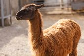 image of lamas  - The lama in the zoo yard in the sunlight - JPG