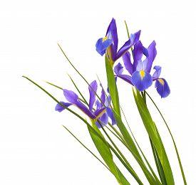 foto of purple iris  - dark purple iris open flowers isolated on white background - JPG
