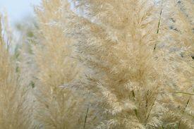 stock photo of pampa  - Pampas Grass - JPG