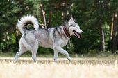 pic of dry grass  - Siberian Husky blind from birth - JPG