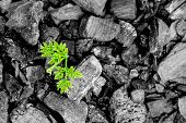 picture of ashes  - close up green plant growing from the ashes - JPG