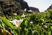 picture of calla  - close up of calla lilies on a small canyon in the California Coast - JPG