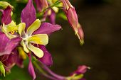picture of eukaryote  - The photo shows flowers aquilegia  - JPG