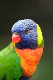 stock photo of lorikeets  - Colorful Lorikeet looking interested on a dark background - JPG