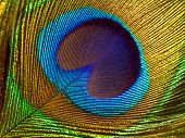 Peacock feather abstract closeup background.