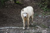 stock photo of quadruped  - An arctic wolf is looking at the camera - JPG