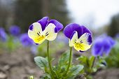 Yellow And Blue Viola