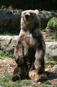 picture of grizzly bear  - brown bear sitting up right on a rock - JPG