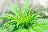 Marijuana Business. Hemp Flower Indoor Growing. Planting Cannabis. Macro Shot. Home Grow Legal Recre poster