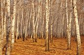 stock photo of afforestation  - view of birch trunks in autumn forest - JPG