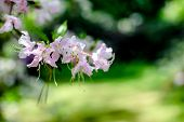 White Rhododendron Blooms Against The Background Of Green Grass poster