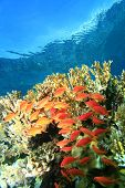 Anthias and fire-coral