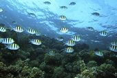 stock photo of sergeant major  - Shoal of Sergeant Major Fishes swims over Coral Reef - JPG