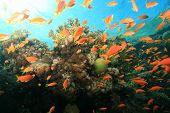 Lyretail anthias (Pseudanthias squamipinnis) on a coral reef