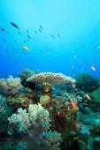 Acropora Table Coral poster