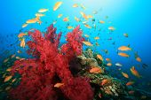 Bright red soft coral and Lyretail Anthias
