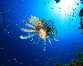 Lionfish (Pterois miles) hunts Glassfish