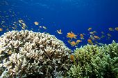 Acropora Corals and Anthias in Blue Water poster