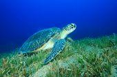 Green Turtle (Chelonia mydas) feeding on seagrass