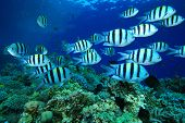 image of sergeant major  - Shoal of Scissortail Sergeants on a coral reef - JPG
