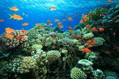 image of coral reefs  - Beautiful coral reef - JPG
