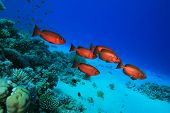 picture of bigeye  - Shoal of Crescent - JPG