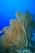 image of molly  - Gorgonian Fan Corals  - JPG