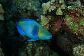 Rusty Parrotfish (Scarus ferrugineus)
