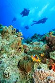 Red Sea Anemonefishes and Scuba Divers