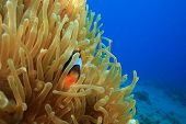 Red Sea Anemonefish conceals itself in a Bubble Anemone