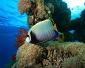 Emperor Angelfish on beautiful coral reef