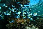 stock photo of sergeant major  - School of Sergeant Major Fish on a coral reef in the Red Sea - JPG