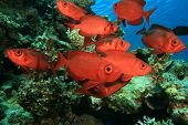 Shoal of Crescent-tailed Bigeye fish on a coral reef in the Red Sea