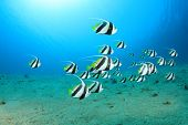 Schooling Bannerfish in the Red Sea