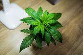 Growing Marijuana At Home. Indoor Cultivation Concept Of Growing Under Artificial Light. Marijuana L poster