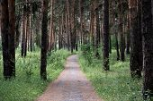 Walk In The Fresh Air Along The Health Path In The Pine Forest, Pine Trees Growing On Both Sides Of  poster