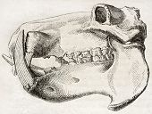 Old illustration of Hippopotamus skull. By unidentified author, published on Magasin Pittoresque, Pa