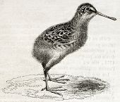 Old illustration of a snipe chick (Scolopax gallinago). By unidentified author, published on Magasin