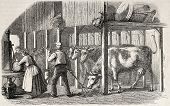 Old illustration Dutch man and woman working in a cowshed. Created by Marc, published on L'Illustrat