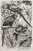 Old illustration of Scarlet Macaw (Ara macao). Created by Kretschmer and Schmid, published on Mervei