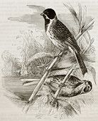 Old illustration of Reed Bunting (Emberiza schoeniclus). Created by Kretschmer, published on Merveil